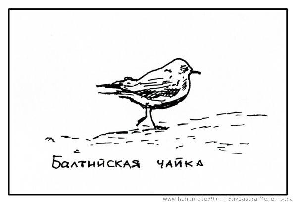 Балтийская чайка на песке.